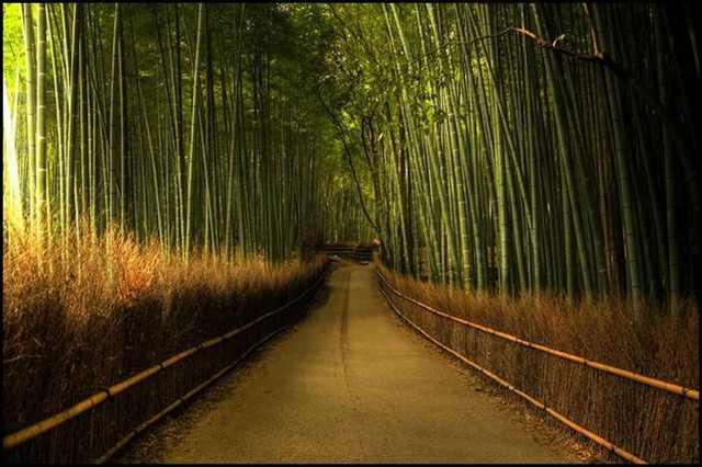 תוצאת תמונה עבור יער הבמבוק