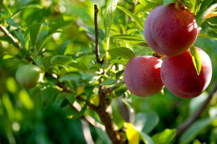 עץ המניב 40 סוגי פירות שונים
