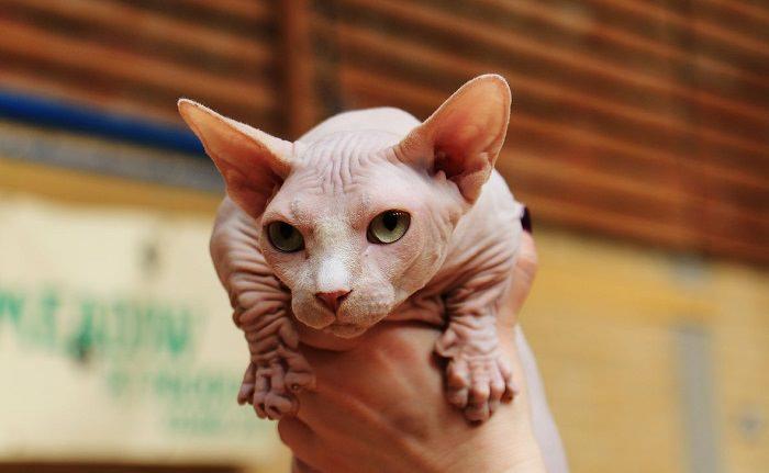 14 הגזעים החתוליים היפים בעולם