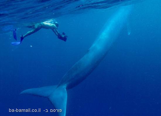 הלוויתן הכחול