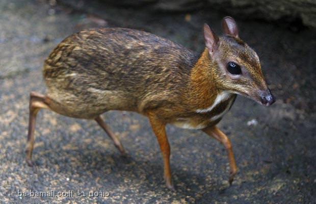צבי עכבר