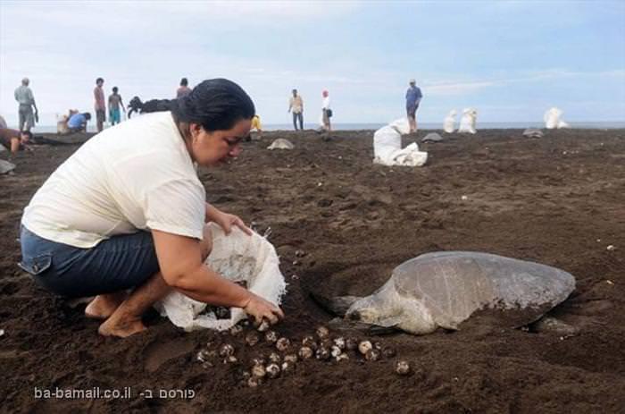 צבי ים בקוסטה ריקה