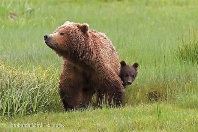 דובים חומים, לייק קלארק, אלסקה