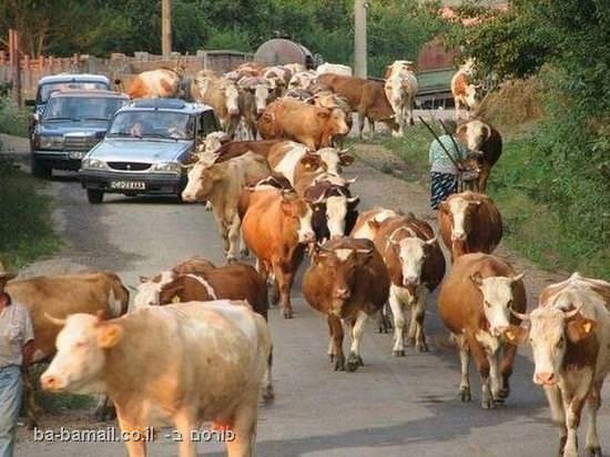 איילון, עולם, פקק, מכוניות, פרות, תמונה