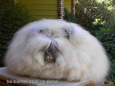 בעלי חיים יוצאי דופן, חיות מוזרות, ארנב אנגורה, ארנב ענק
