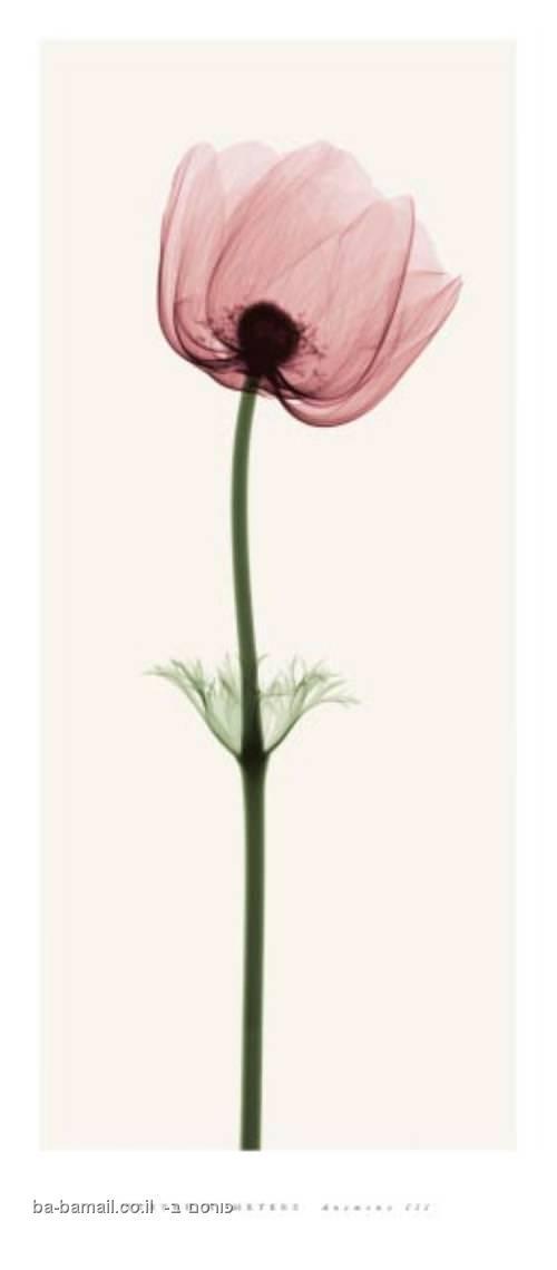 צילום רנטגן של פרחים