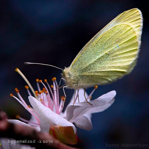 חרקים בקלוז אפ, פרפר, פרח