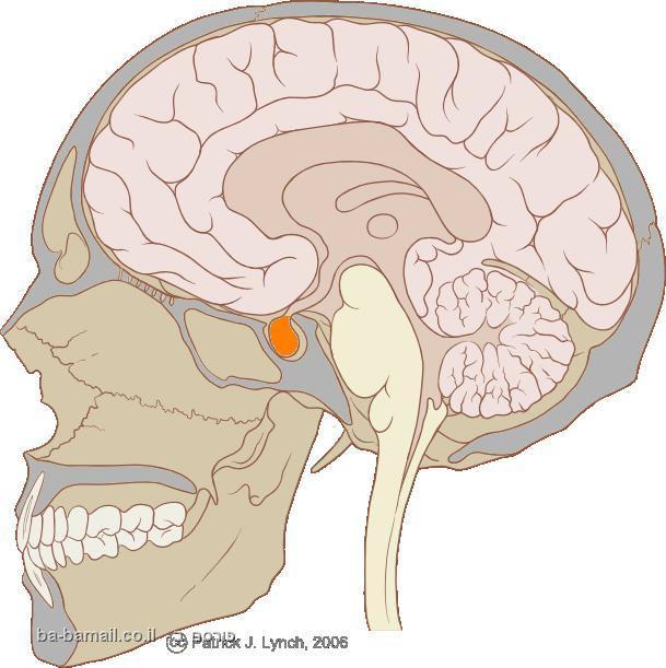 בלוטת יותרת המוח, יותרת המוח