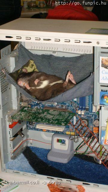 חיות, טבע, מצחיק, עכבר, מחשב
