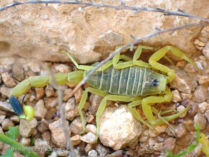 חרקים, חרקים מסוכנים,טבע, בעלי חיים, עקרב, עקרב צהוב