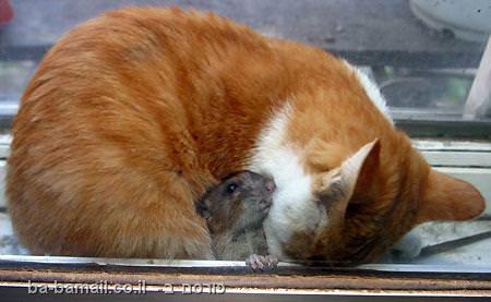 חתול ועכבר