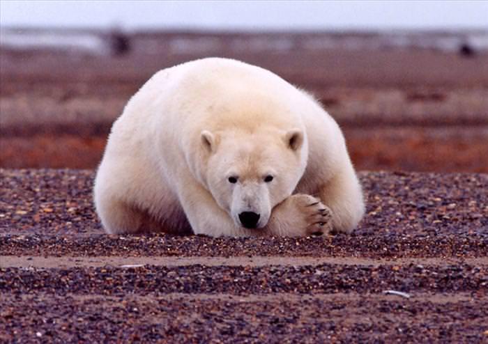דובי קוטב