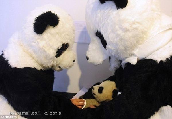 מדענים מתחפשים לדובי פנדה כדי לעזור לגור פנדה להסתגל