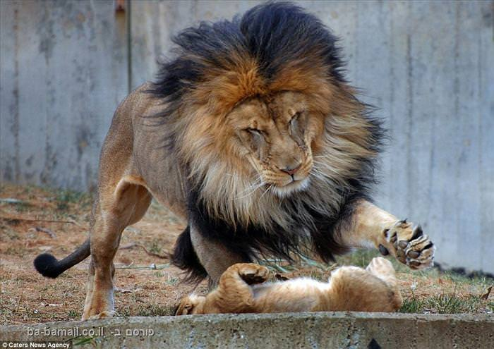 אריה ננזף על ידי לביאה