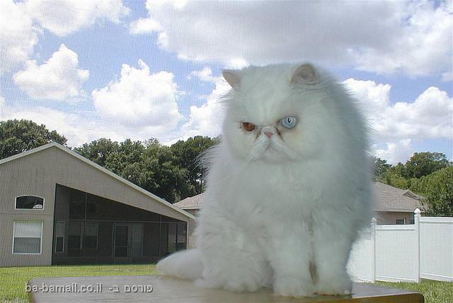 חתול אחד, שתי עיניים בשני צבעים שונים, איך זה קורה?