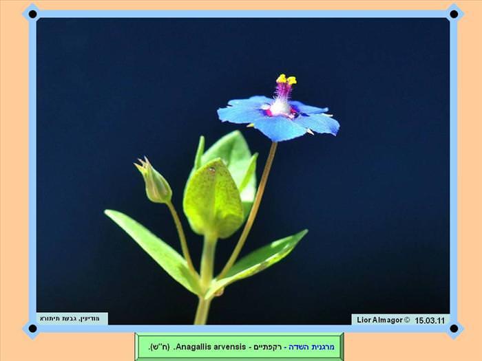 פרחים בישראל