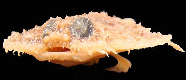 מי אמר שלדגים אין רגליים? זן חדש התגלה במעמקי הים