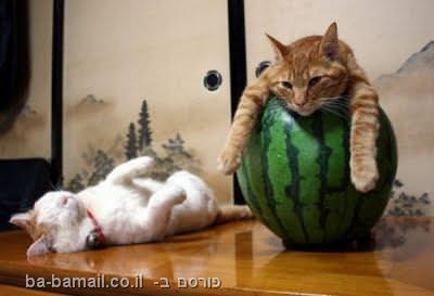 חתולים ישנים