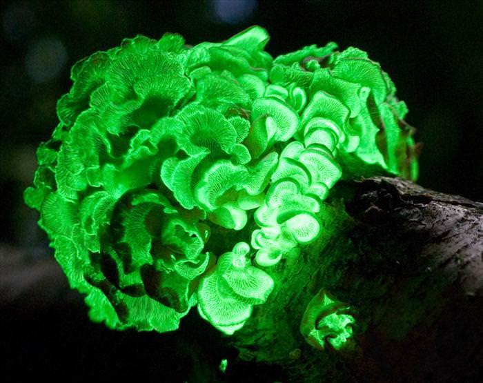 הפטרייה הזוהרת התגלתה שוב, לאחר 170 שנה, בברזיל! (בעריכה)