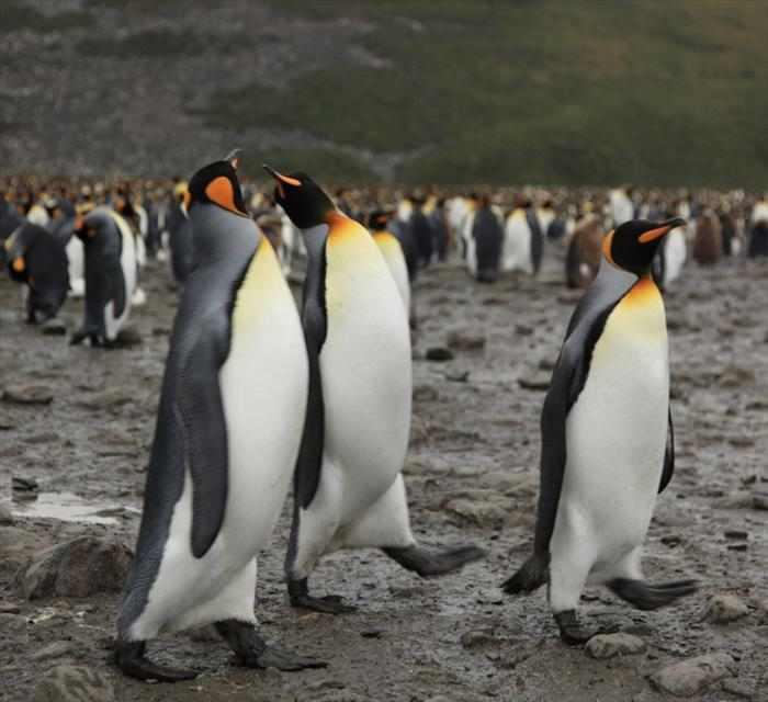 מושבת פינגווינים באי ג'ורג'יה הדרומית