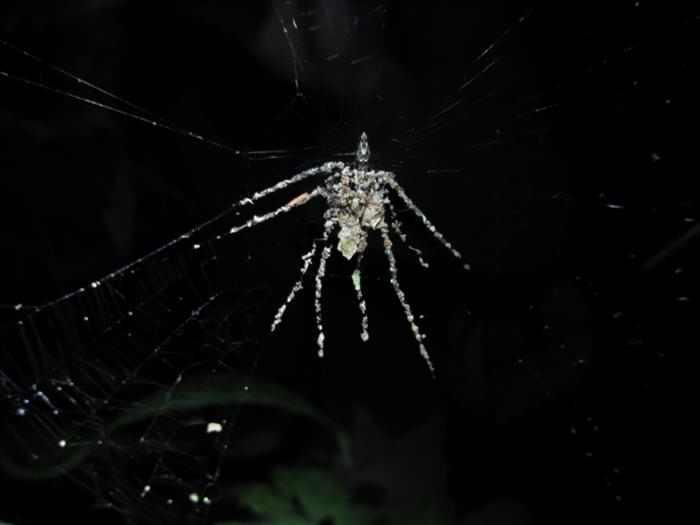 עכביש מדהים שמסוגל ליצור צורה של עכביש גדול יותר