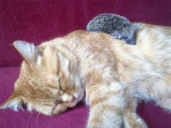 חתולה מאמצת קיפודים