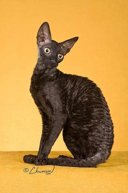 10 גזעי החתולים המוזרים בעולם