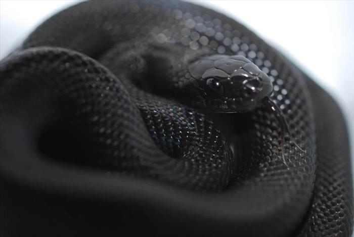 חיות שחורות
