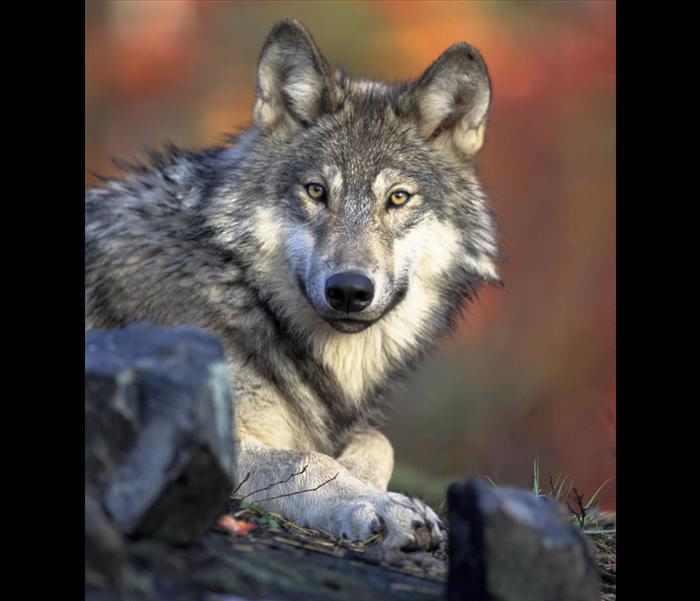 זאבים
