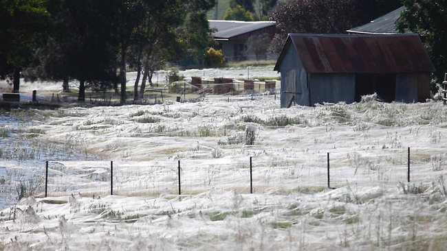 עכבישים באוסטרליה