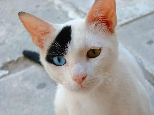 חיות עם עיניים בצבעים שונים