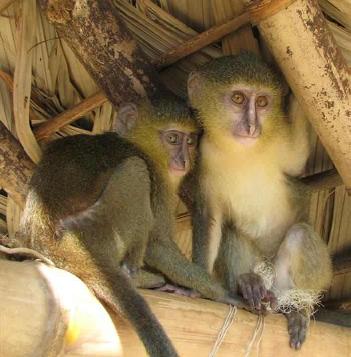 זן חדש של קוף התגלה בג'ונגל באפריקה