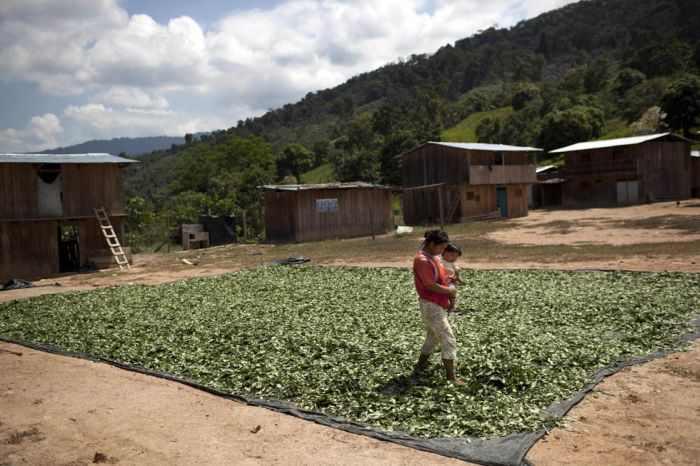 חוות הקוקה של פרו