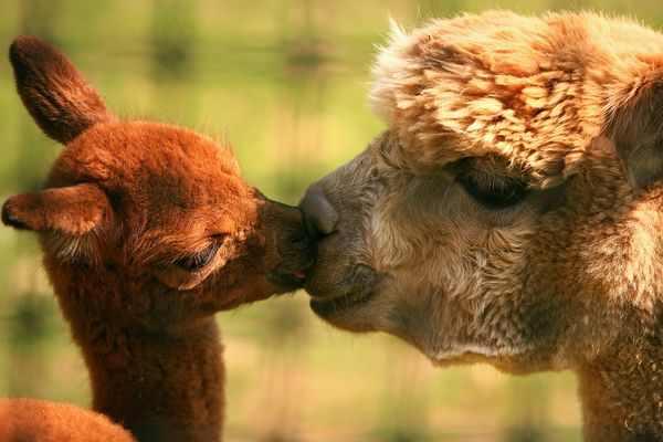 תמונות של חיות מתנשקות