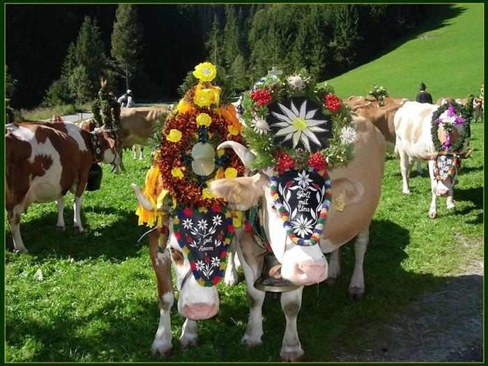 פסטיבל הפרות של טירול