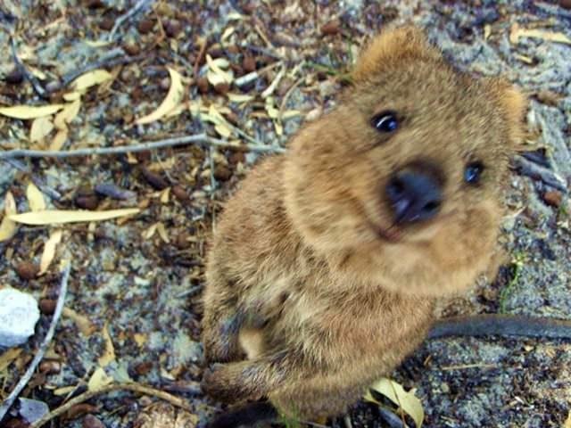 קואוקה - בעל החיים הכי מאושר בעולם