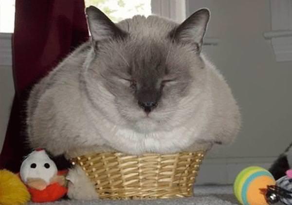 חתול נוזלי