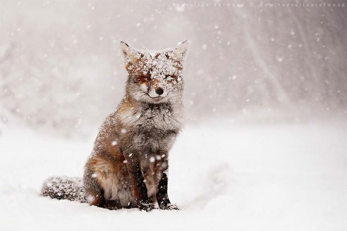 הכירו את זני השועלים היפים בעולם שיחממו את לבכם בחורף הקר