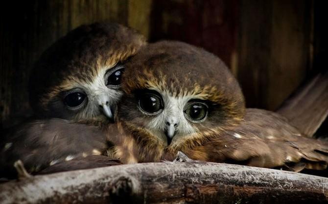 ינשופים חמודים