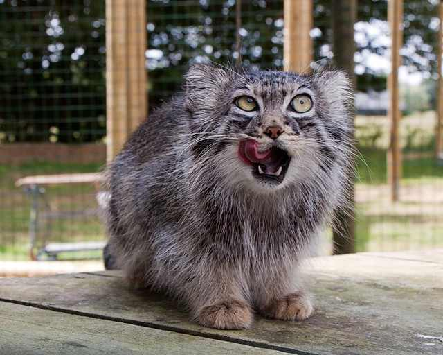 מנול החתול