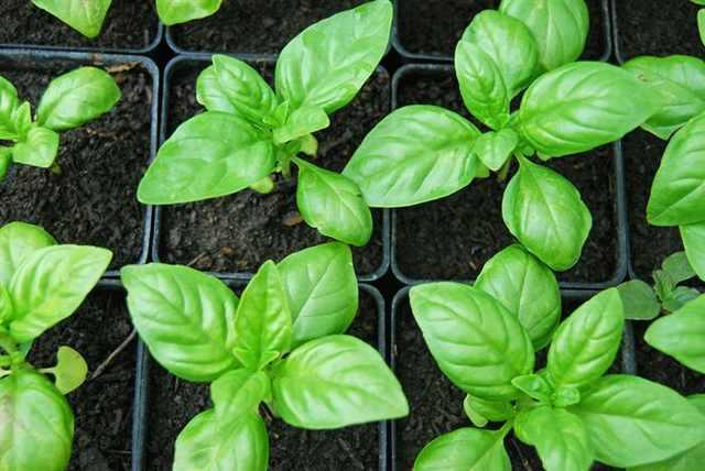 צמחים שימושיים