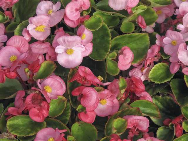 צמחים רעילים