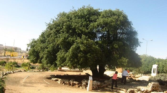 ט'ו בשבט עצים ויערות