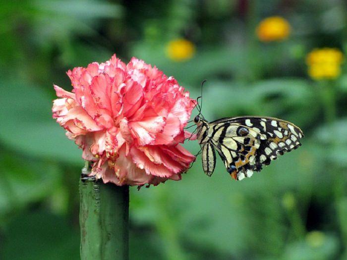 משמעות פרחים