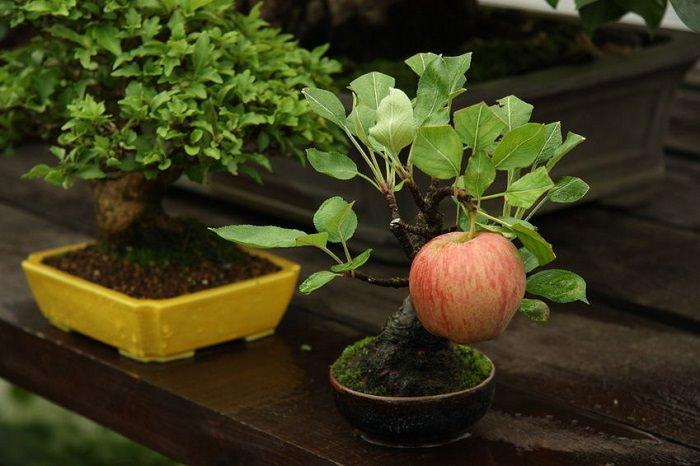 גידול עצי בונסאי