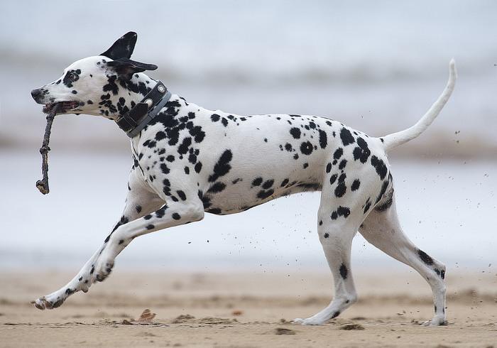 זני כלבים מ-א' ועד ת'