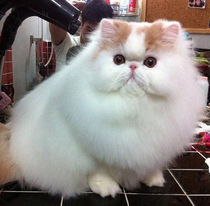 חתולים פרוותיים
