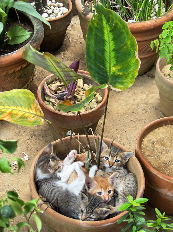 חתולות באדניות