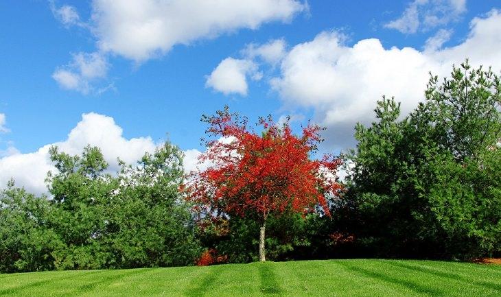 עץ אדום בתוך שורה של עצים ירוקים