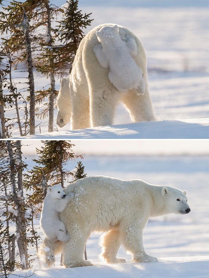 גור דובים מציק לאמא שלו ונתלה על ישבנה